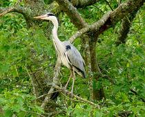 Grey Heron von John Biggadike