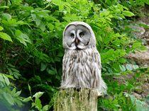 Great Grey Owl (Strix Nebulosa Lapponica) by John Biggadike