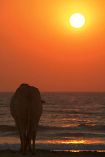 Cow Watching the Sunset Arambol von serenityphotography