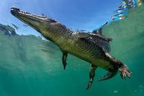 Saltwater Crocodile underwater von Norbert Probst