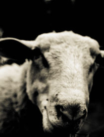 Close-up of a sheep  von Lars Hallstrom