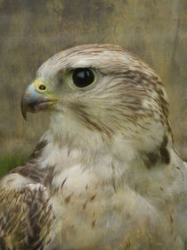 Falcon by Jacqi Elmslie