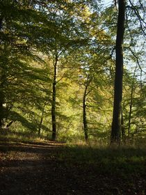Beech Forest 2  by Sarah Osterman