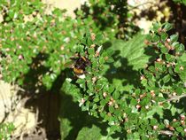 Bumble Bee on Cotoneaster  by Sarah Osterman