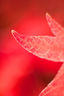 RED LEAF by dclick