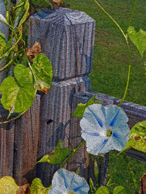 Morning Glory by Sandra Woods