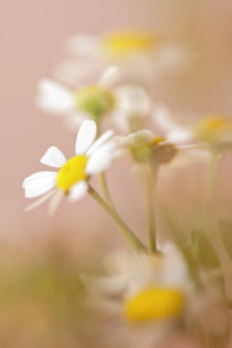 Kamillen by Martina Raab