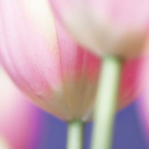 Tulips by Martina Raab