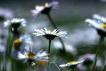 daisy field von emanuele molinari