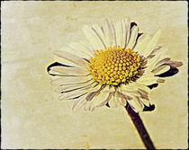 one single daisey. by rosanna zavanaiu