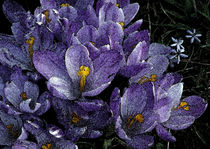 Crocus 4 by Sandra Woods