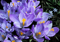 Crocus in bloom  by Sandra Woods