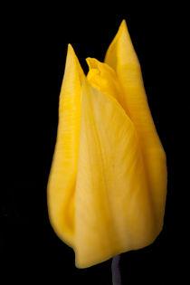 Yellow Tulip von John Biggadike
