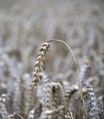 Barley by Nigel  Bangert