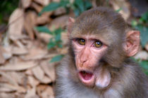 Young Rhesus Macaque with Food in Cheeks by serenityphotography
