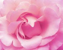Soft pink rose by sharon lisa clarke