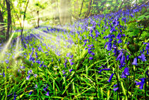 Misty-sunrise-bluebells