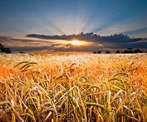 barley at sunset by meirion matthias