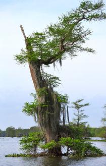 Atchafalaya Swamp by Louise Heusinkveld