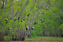 Whistling Ducks in Flight von Louise Heusinkveld