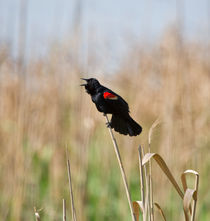Red-winged-blackbird0079