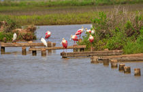Spoonbills and Snowy Egrets by Louise Heusinkveld