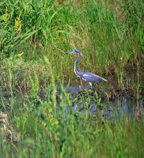 Tricolored Heron by Louise Heusinkveld
