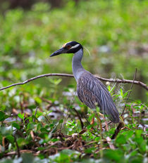 Yellow-crowned-night-heron0119