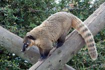 Ring-tailed Coati von John Biggadike