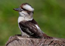 Kookaburra von John Biggadike