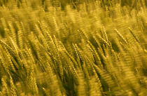 Wind-blown-barley