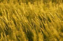 windblown wheat by meirion matthias