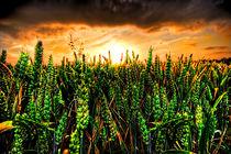 Sunset-wheat