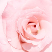 Rose von Jana Behr