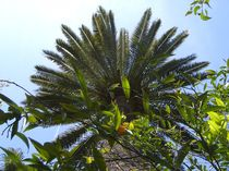 Baumiges-palme-tme