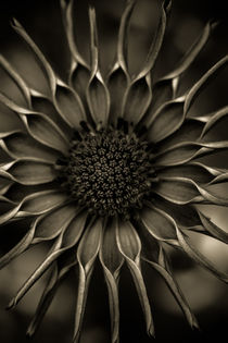 African-daisy-in-monochrome