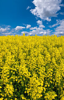 Vertical-canola-view