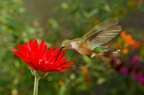Broad-tailed Hummingbird Summer von Barbara Magnuson & Larry Kimball