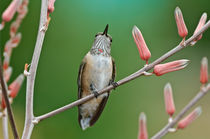 Bihu-0241-broad-tailed-hummingbird-selasphorus-platycercus