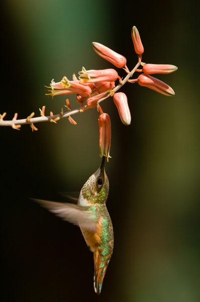 Bihu-0674-rufous-hummingbird-selasphorus-rufus