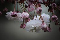 Zierapfel Blüte by Elke Balzen