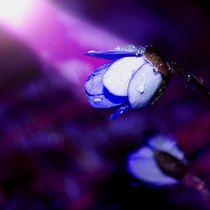 Leberblümchen von tinadefortunata