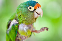 baby parrot by Craig Lapsley