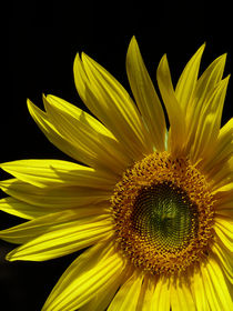 Circling Sunflower by Margaret Saheed