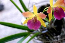 Star Orchid - Stern Ochidee by Doug Graham
