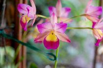 Pink and Yellow Orchid; Rosa und Gelbe Orchidee von Doug Graham