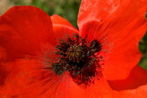 Close Up Poppy von serenityphotography