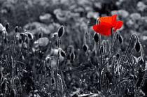 Backlit-poppies-composite