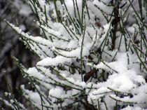 Snowonbush