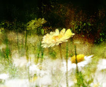 Daisy Love Texture von florin